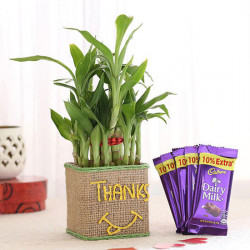 2 Layer Lucky Bamboo In Glass Vase With Dairy Milk Chocolates