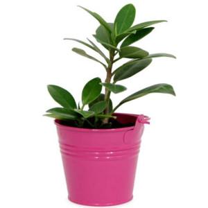 Foicus Plant