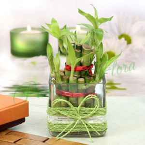 Lucky Two Layer Bamboo Plant - Online Gift Ideas