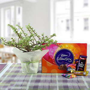 Delicious Chocolates N Jade Plant Combo - Online Gift Ideas