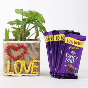 Syngonium Plant With 5 Dairy Milk Chocolates - Online Gift Ideas