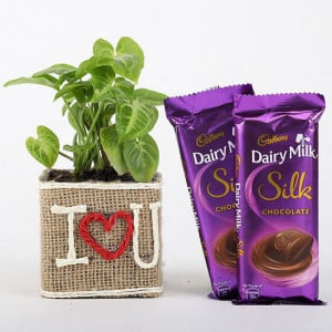 Syngonium Plant In Vase With Dairy Milk Silk Chocolates