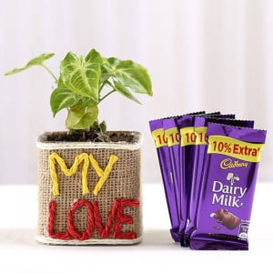 Syngonium Plant With Dairy Milk Chocolates - Online Gift Ideas