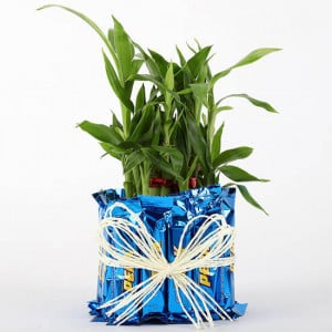 2 Layer Lucky Bamboo With Perk Chocolates - Send Plants n Chocolates Online