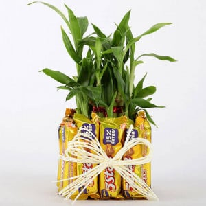 2 Layer Lucky Bamboo With 12 Chocolates - Send Plants n Chocolates Online