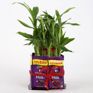 2 Layer Lucky Bamboo With Dairy Milk Chocolates - Chocolate Bouquet Online