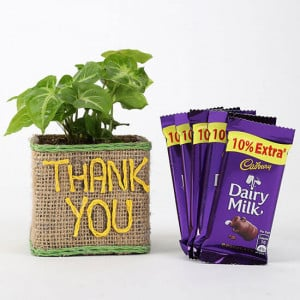 Syngonium Plant In Thank You Vase With Dairy Milk Chocolates - Send Plants n Chocolates Online