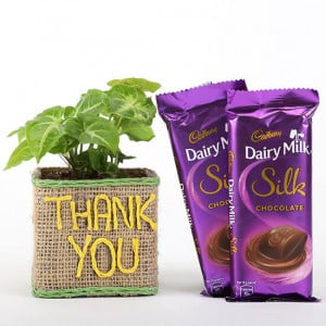 Syngonium Plant In Thank You Vase With Dairy Milk Silk Chocolates - Send Plants n Chocolates Online