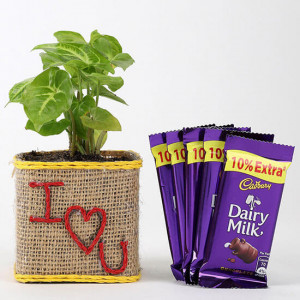 Valentine Special Syngonium Plant With Dairy Milk Chocolates - Send Plants n Chocolates Online