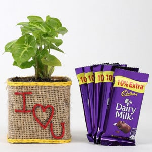 Valentine Special Syngonium Plant With Dairy Milk Chocolates - Chocolate Bouquet Online