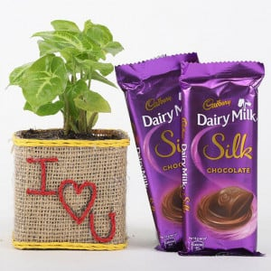 Syngonium Plant With Dairy Milk Silk For Valentines Day - Chocolate Bouquet Online