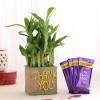 2 Layer Lucky Bamboo In Thank You Vase With Dairy Milk Chocolates
