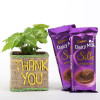 Syngonium Plant In Thank You Vase With Dairy Milk Silk Chocolates