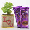 Syngonium Plant With Dairy Milk Silk For Valentines Day
