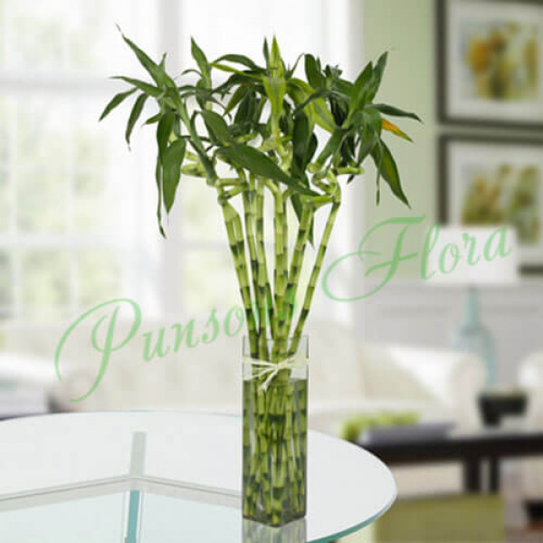 10 Spiral Bamboo Plant