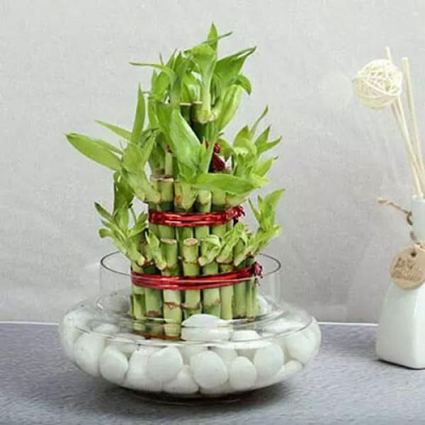 3 Layer Lucky Bamboo