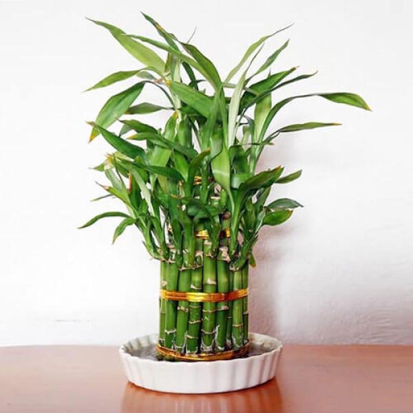 Lucky Bamboo 2 Layer